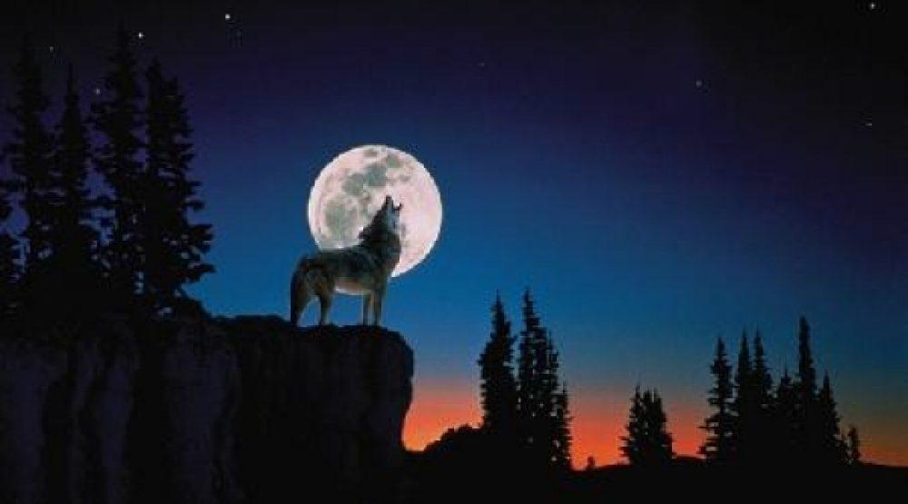 عن الذئب.. حالة خاصة ومزاج متفرد